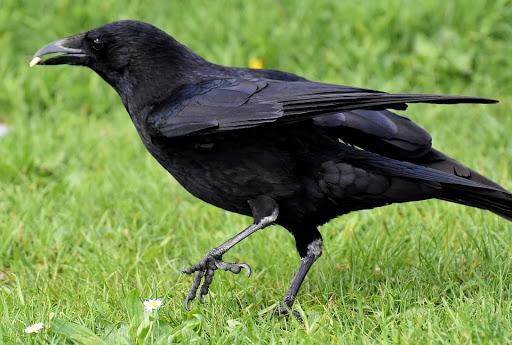 Mơ thấy chim màu đen