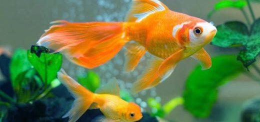 Mơ thấy cá chép hồng, đỏ