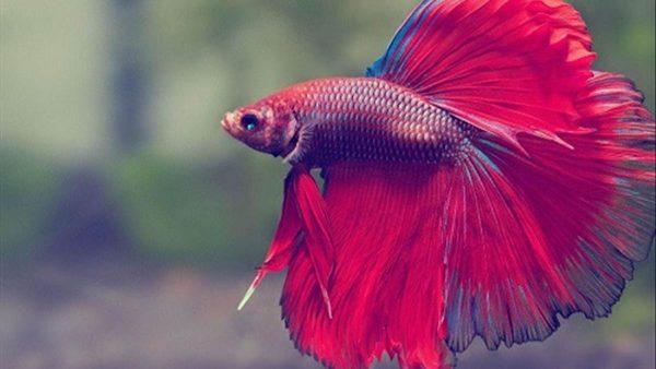 Giải mã ý nghĩa giấc mơ thấy cá
