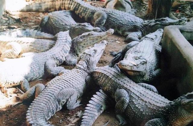 Mơ thấy cá sấu là điềm báo gì?