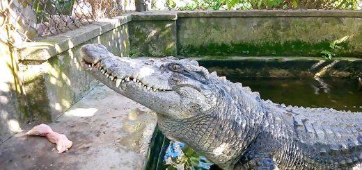 Mơ thấy cá sấu đánh con gì để dễ trúng nhất?